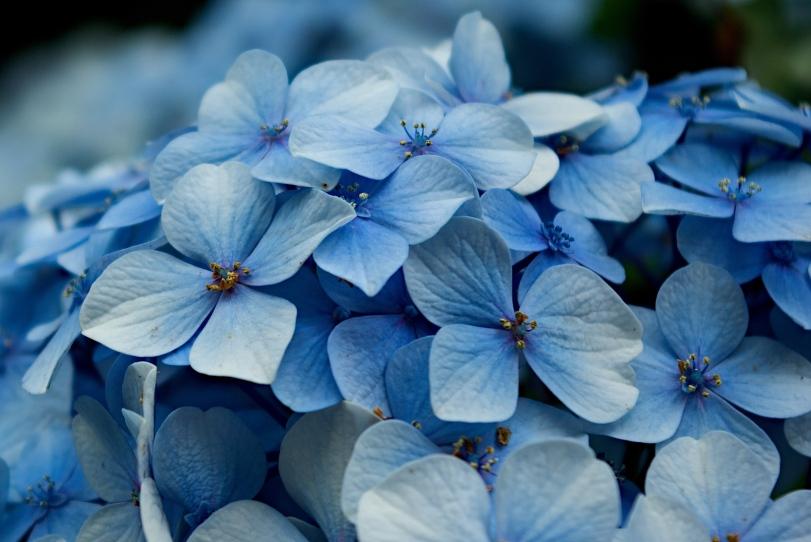 Hydrangea_macrophylla_petals_-_cropped